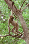 spider monkey in tree - pictures of monkeys